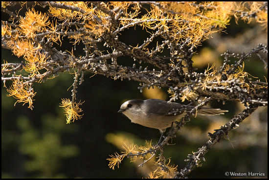- Gray Jay perched in a golden Larch tree, Banff NP, Canada -