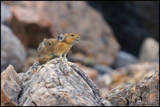 - Windblown Pika making an alert call, Banff NP, Canada -