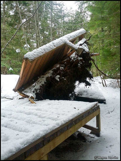 - Uprooted Tree Breaking the Trail of the Cedars Boardwalk in Winter, Glacier NP -