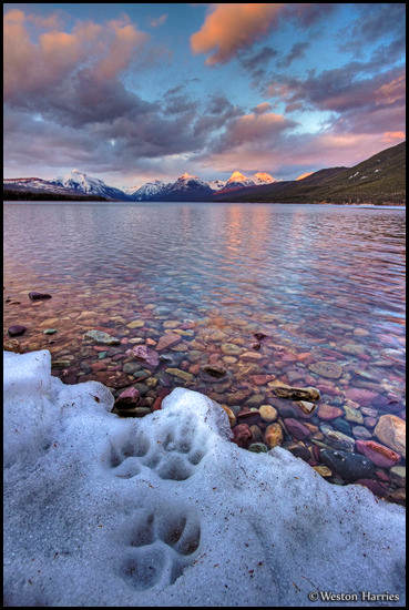 - Wolf Tracks at The Edge of Lake McDonald, Glacier NP -
