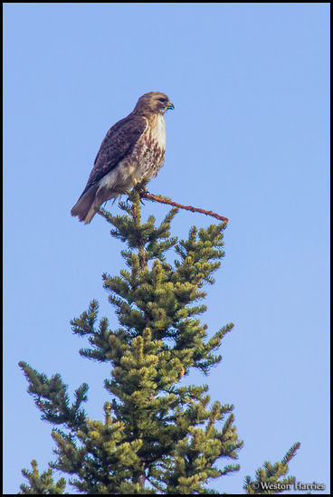- Red Tail Hawk Perched on a Pine Tree, Glacier NP -