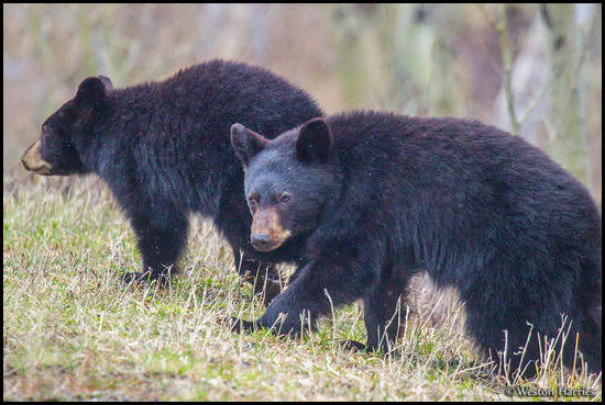 - Two Black Bear Cubs, Glacier NP -