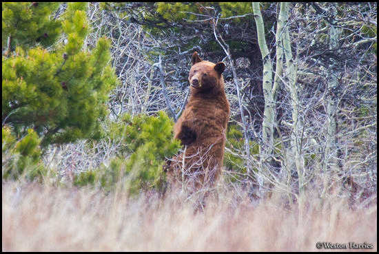 - Cinnamon Black Bear Standing Up, Glacier NP -