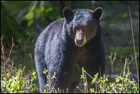 - Black Bear, Glacier NP -