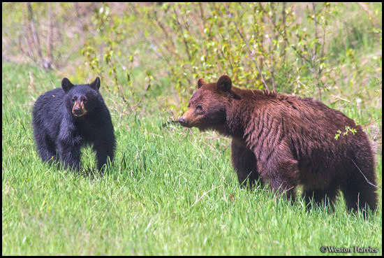 - Cinnamon Black Bear Sow with Her Cub, Glacier NP -