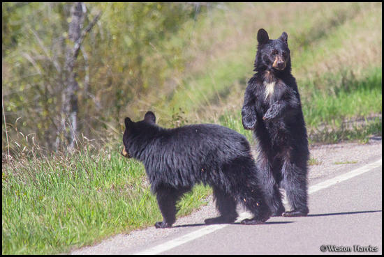 - Two Black Bear Cubs Crossing the Road, Glacier NP -