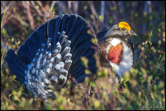 - Male Dusky Grouse in Full Display, Glacier NP -