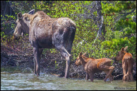 - Moose With Two Calves Wading in Swiftcurrent Lake, Glacier NP -