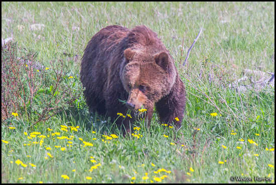 - Grizzly Bear Feeding on Wildflowers, Glacier NP -