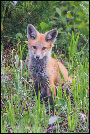 - Red Fox, Glacier NP -