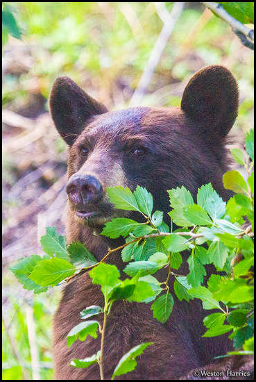 - Cinnamon Colored Black Bear, Glacier NP -