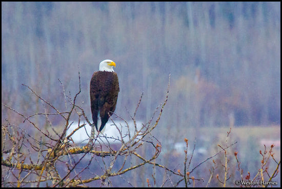 - Bald Eagle Perched on an Aspen Tree, Glacier NP -