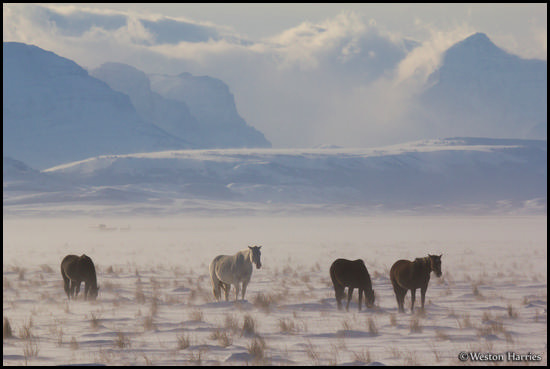 - Horses in a Snowy Pasture Below Big Peaks, Glacier NP -