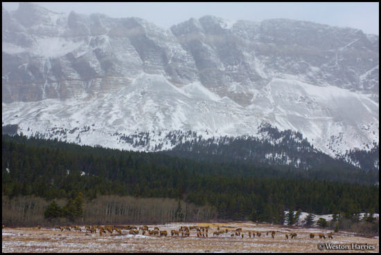- Herd of Elk Below Singleshot Mtn, Glacier NP -