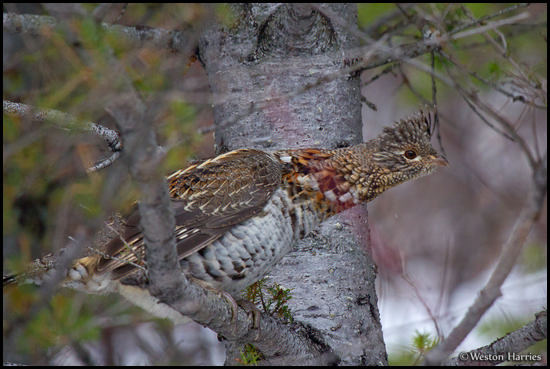 - Grouse in a Tree, Glacier NP -