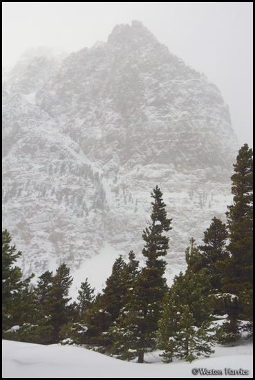 - Pine Trees Below Mt. Altyn in Winter, Glacier NP -