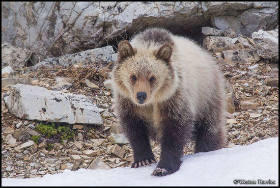 - Blonde Grizzly Bear Cub, Glacier NP -