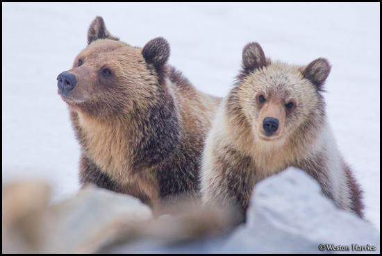 - Grizzly Bear Sow and Blonde Cub, Glacier NP -