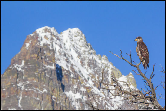 - Female Bald Eagle Perched in Front of Grinnell Point, Glacier NP -