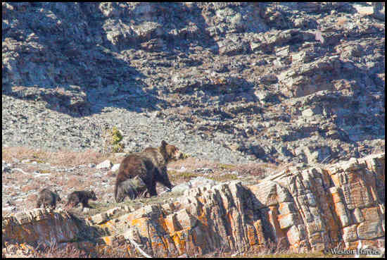 - Grizzly Bear Sow with Three Cubs, Glacier NP -
