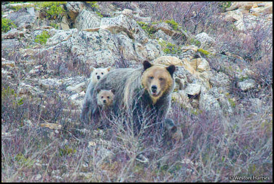 - Grizzly Bear Sow and Cubs, Glacier NP -