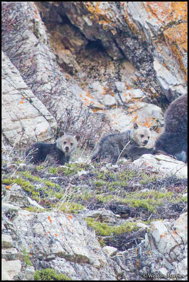 - Grizzly Bear Cubs, Glacier NP -