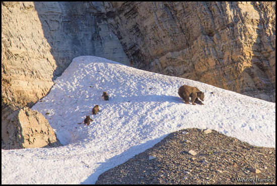 - Grizzly Bear Sow with Three Cubs on a Snowfield at Sunrise, Glacier NP -