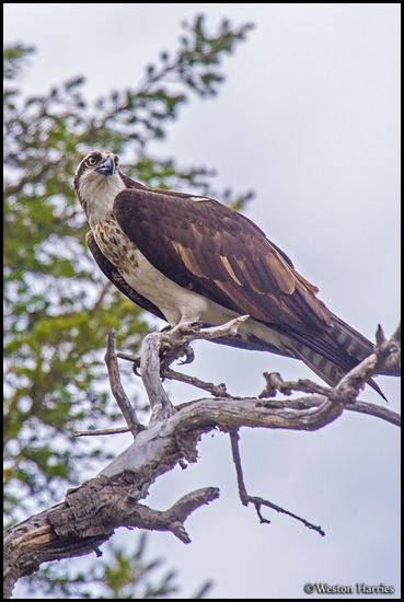 - Osprey Perched in a Tree, Glacier NP -