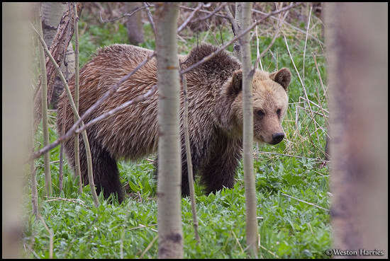 - Blonde Grizzly Bear in an Aspen Grove, Glacier NP -