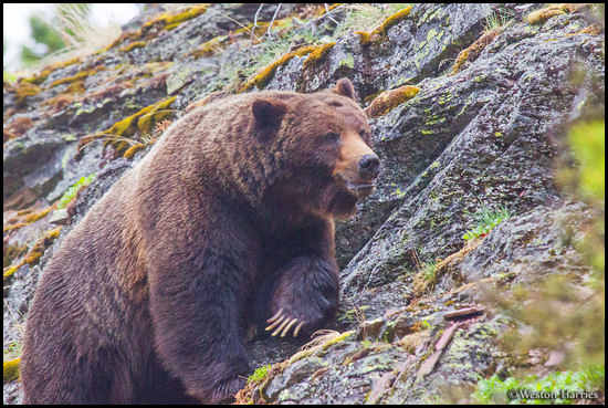 - Grizzly Bear Boar Climbing a Cliff, Glacier NP -