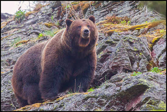 - Bearded Grizzly Bear Boar on a Cliff, Glacier NP -