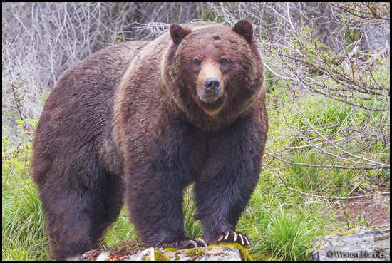 - Bearded Grizzly Bear Boar, Glacier NP -