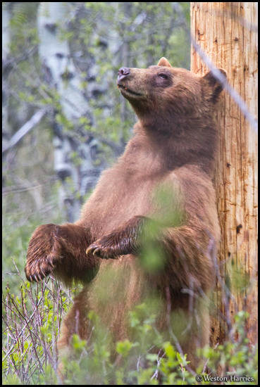- Black Bear Standing to Scratch Its Back on a Pole, Glacier NP -