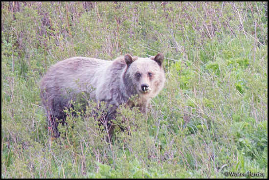 - Blonde Grizzly Bear with Porcupine Quills in Its Nose :( , Glacier NP -