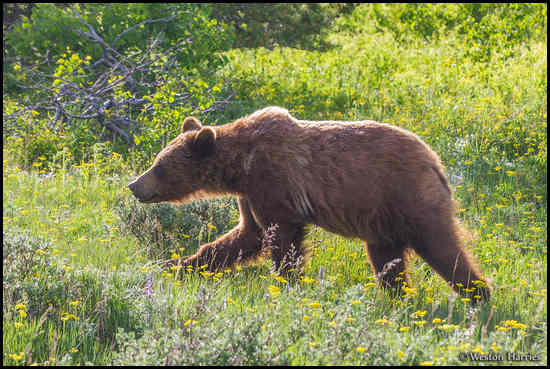 - Backlit Grizzly Bear, Glacier NP -