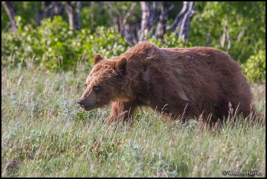 - Young Grizzly Bear, Glacier NP -