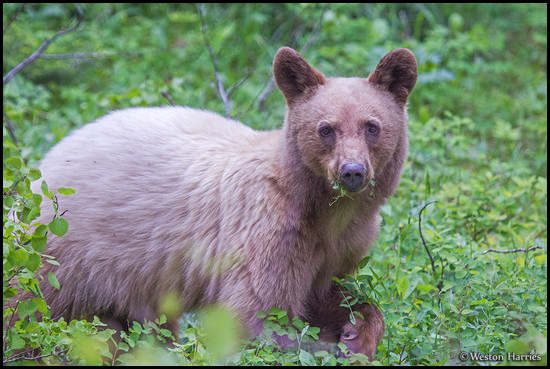 - Blonde Black Bear Cub, Glacier NP -