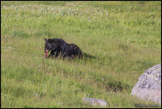 - Black Bear Eating a Ground Squirrel, Yellowstone NP -