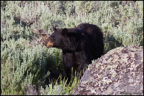 - Black Bear, Yellowstone NP -