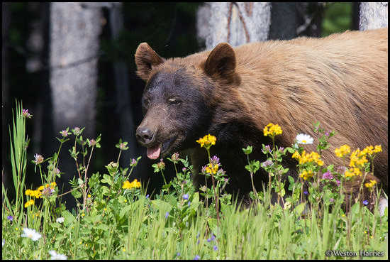 - Cinnamon Colored Black Bear and Wildflowers, Glacier NP -