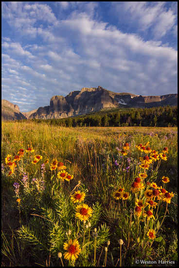 - Wildflowers Below Apikuni Mountain, Glacier NP -