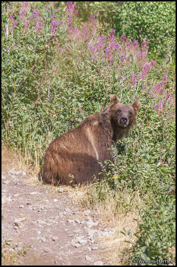 - Grizzly Bear Laying by a Berry Bush Along a Trail, Glacier NP -