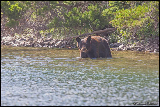 - Black Bear Wading in a Lake on a Hot Day, Glacier NP -