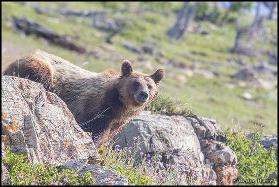 - Grizzly Bear, Glacier NP -