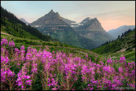 - Fireweed Below Mt. Oberlin and Cannon Mtn. at Sunset, Glacier NP -