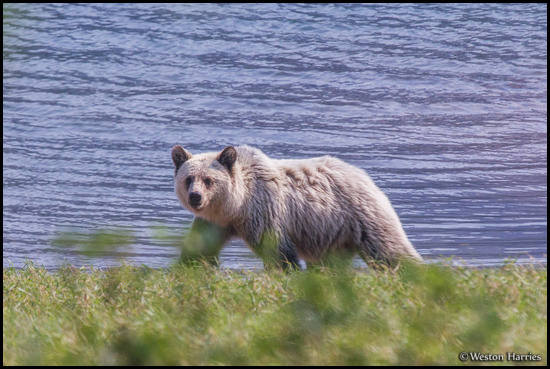 - Blonde Grizzly Bear, Glacier NP -