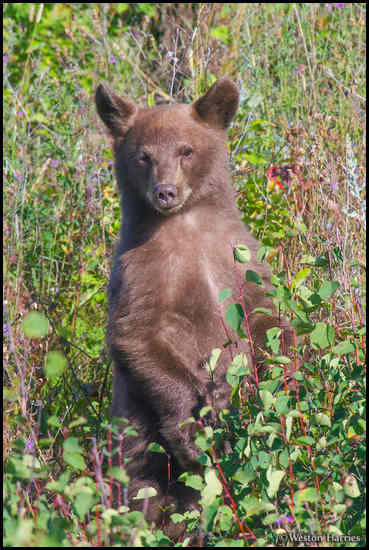 - Black Bear Cub Standing Up, Glacier NP -