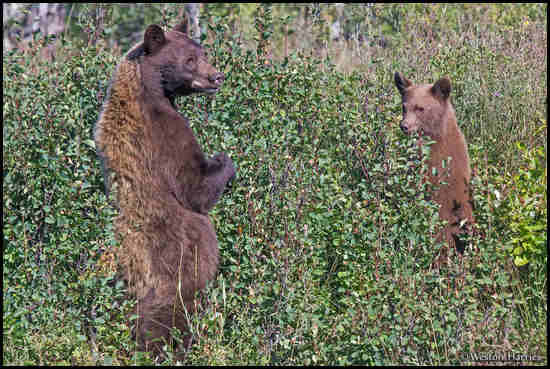 - Black Bear Sow and Cub Standing Up, Glacier NP -