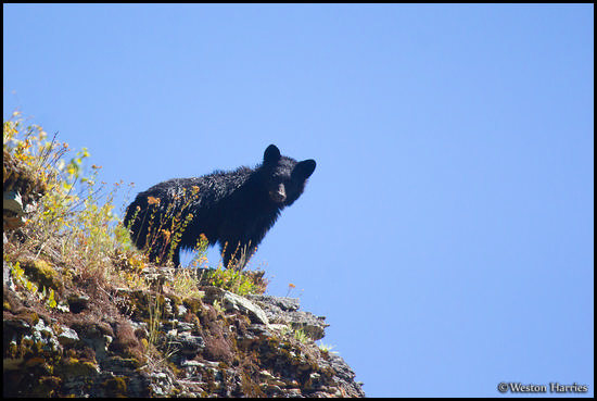 - Black Bear Looking Out off a Cliff, Glacier NP -