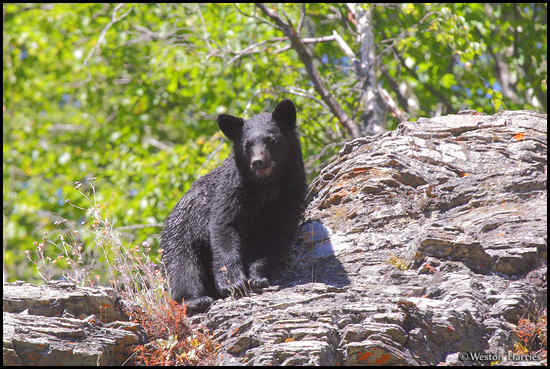 - Black Bear on a Cliff, Glacier NP -